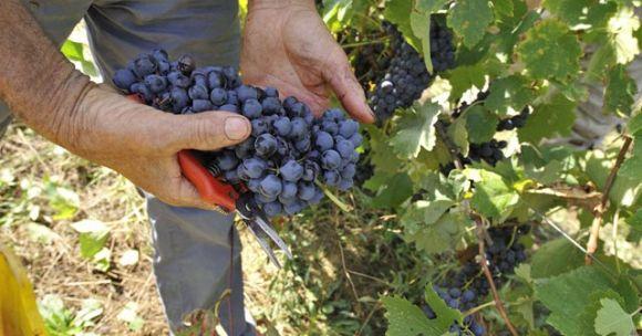 Vendemmia - foto Regione Sardegna